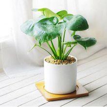 除甲醇绿萝绿植盆栽,好看净化空气的装饰品