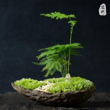 日式文竹微景观盆栽,天然的文竹搭配手工紫砂盆