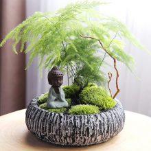 文竹四季常青佛系盆景,这是一款能让你心情平和的盆栽
